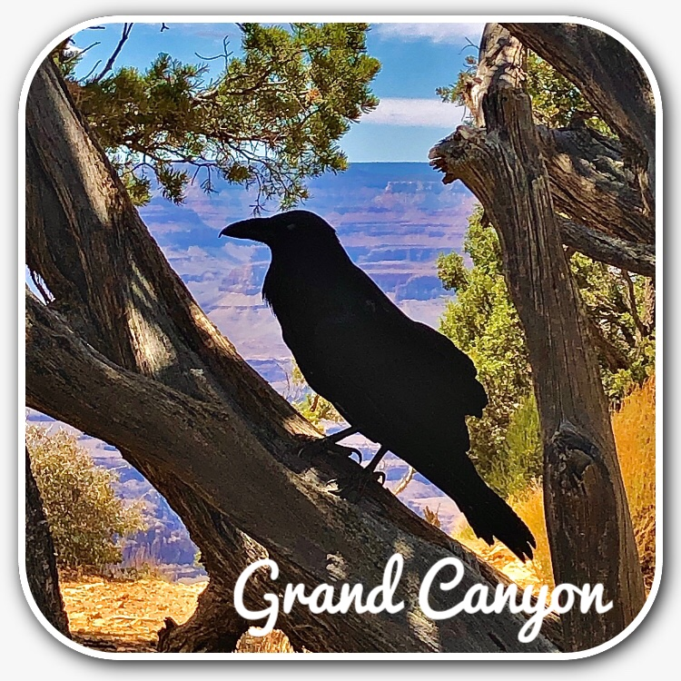 Crow perched in front of the Grand Canyon.